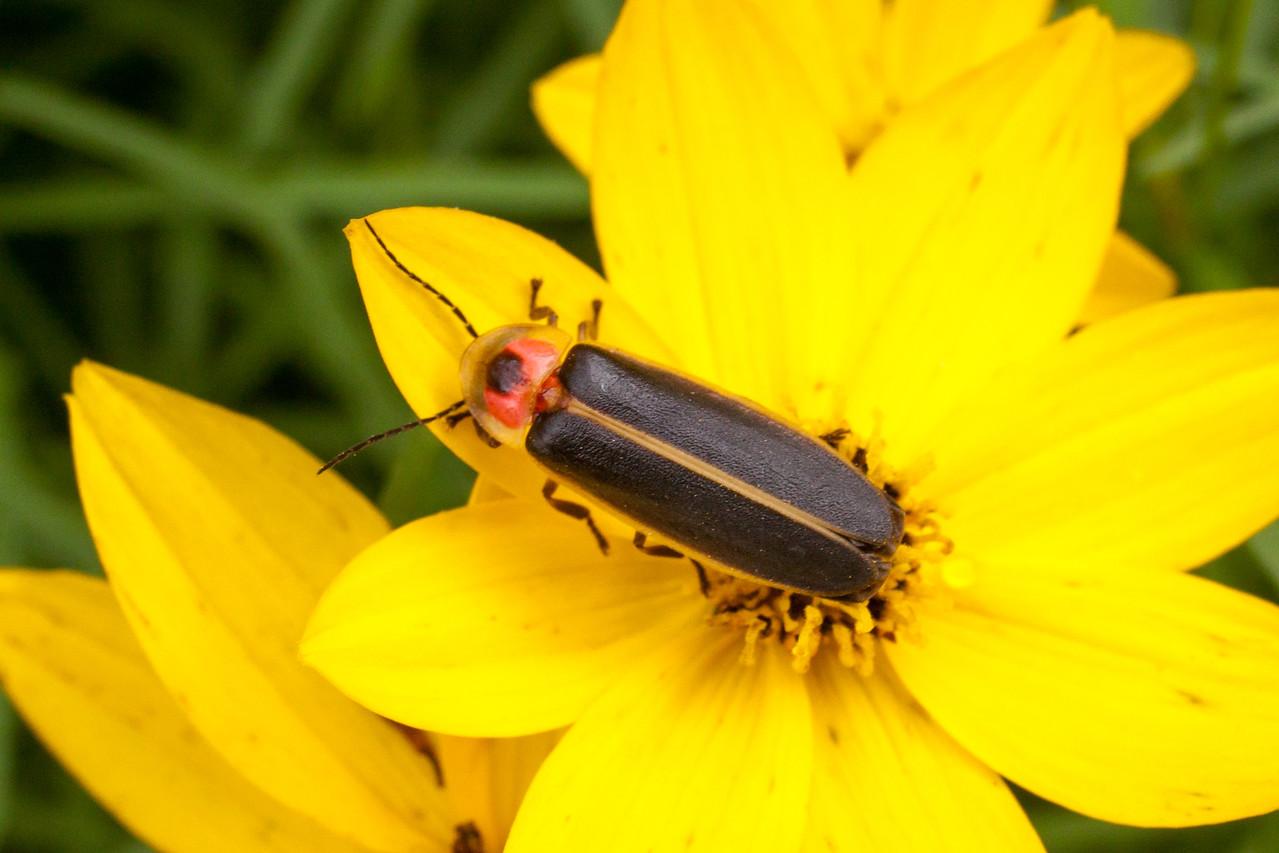 Photinus sp. Firefly