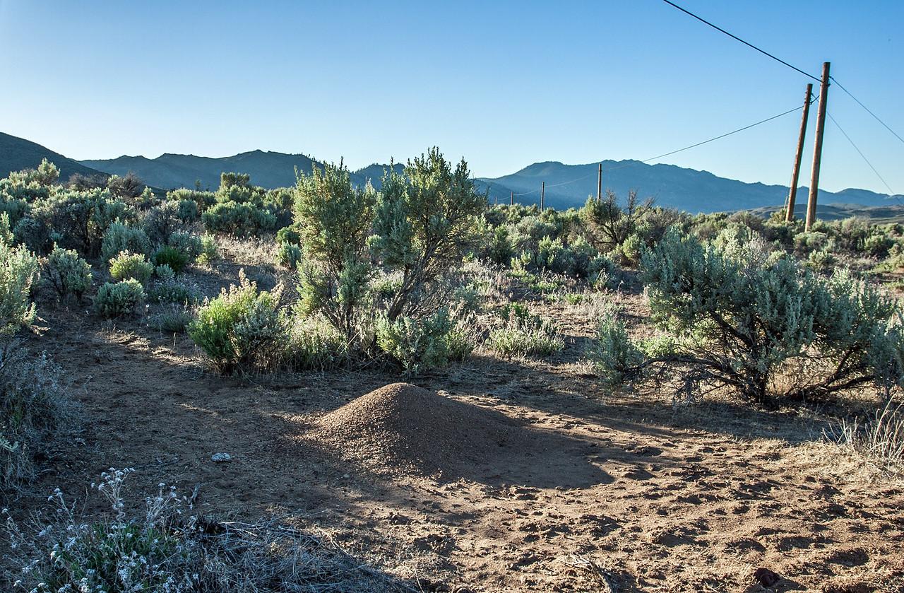 Western Harvester Ant Mound