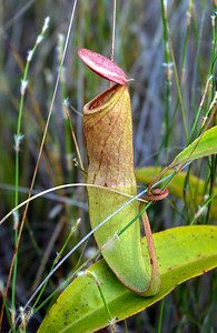 Nepenthes sp. Pitcher Plant