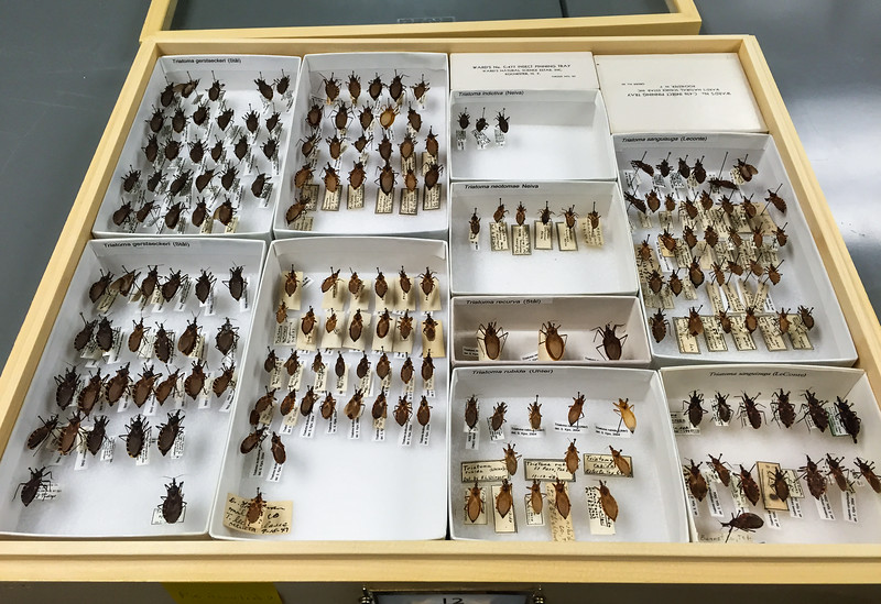 Preserved Kissing Bugs