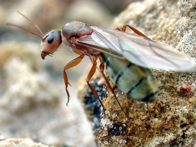 A young Camponotus queen ant prepares to depart on a mating flight.