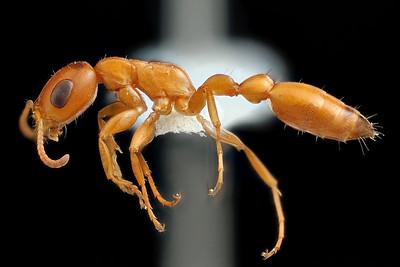 Pseudomyrmex apache