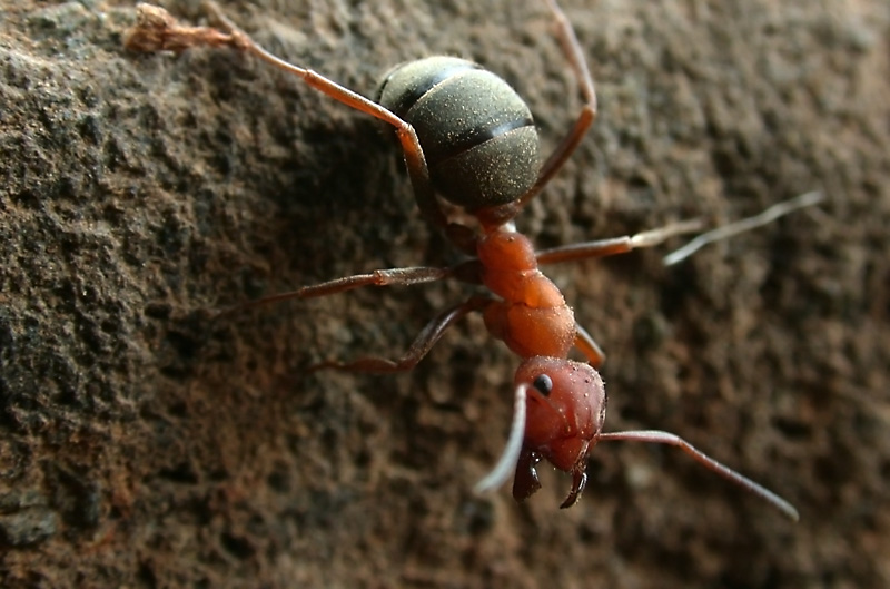 Formica integroides wood ant.  Sagehen Creek Field Station, California, USA