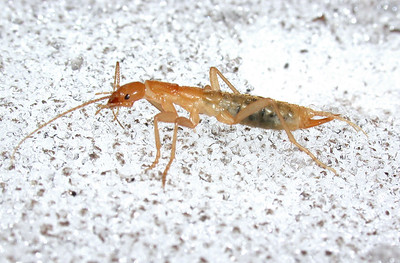 Grylloblatta sp. ice crawler