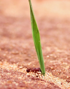 Acromyrmex balzani, a leafcutter ant, transports cut grass back to her nest.  Paraguay