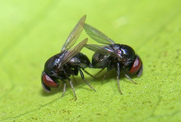 Cryptochetid flies mating.  Davis, California, USA