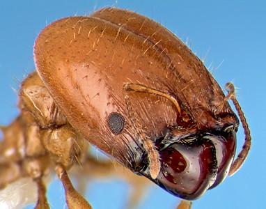 A focus-stacked composite portrait of a soldier ant. El Palmar, Entre Rios, Argentina.