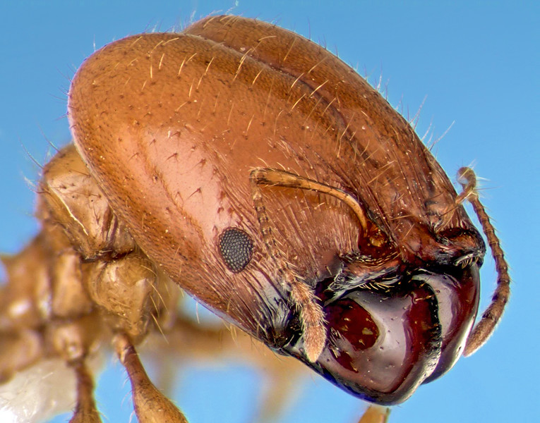 A focus-stacked composite portrait of a soldier ant. El Palmar, Entre Rios, Argentina.