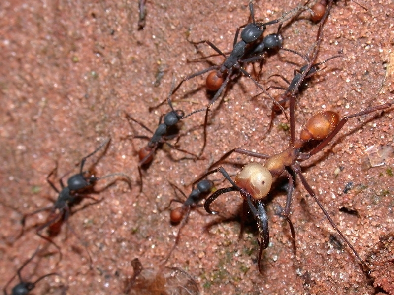 A column of Eciton burchellii army ants runs through a South American forest.  Reserva Mbaracayu, Paraguay