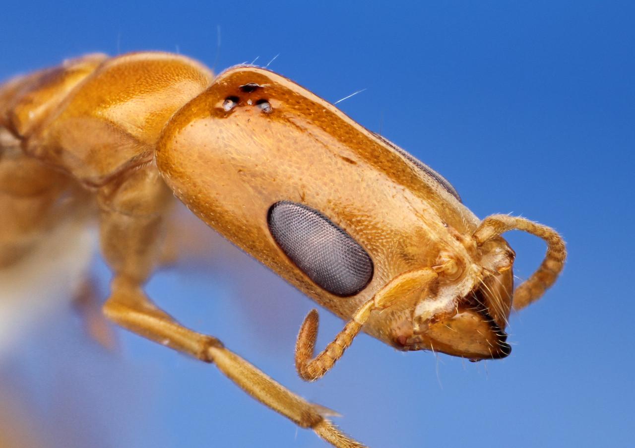 Pseudomyrmex filiformis