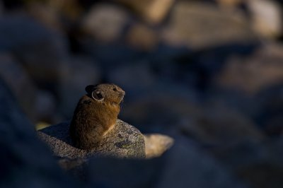 "<h2>North American Nature Photographer Association, Expressions of 2006</h2> Rob's ""Pika at Sunrise"" photograph was selected for inclusion in <a href=""http://www.nanpa.org"">NANPA's annual Expressions Showcase</a> for 2006."