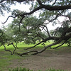 Oak Alley Plantation<br /> Are those limbs going underground!??!