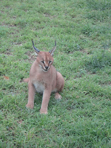 visit to the Emdoneni Cat Rehab Project--Kary the Caracal