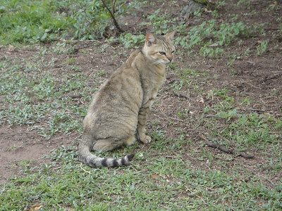 visit to the Emdoneni Cat Rehab Project--Wilma, the African Wild Cat
