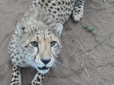 visit to the Emdoneni Cat Rehab Project--Chita the Cheetah
