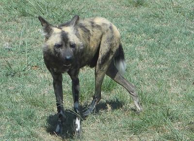 Doug the (Wild) Dog