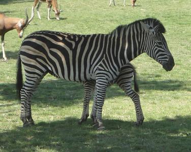 Zachary the Zebra