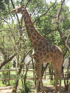 Jeremiah the Giraffe