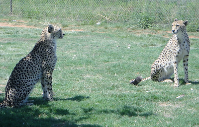 Chita and Rita the Cheetahs