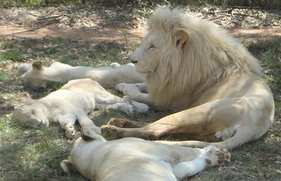 Whitey the White Lion