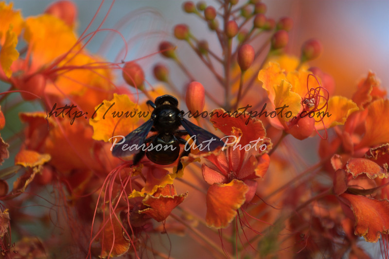 A black bee sits in colorful flowers