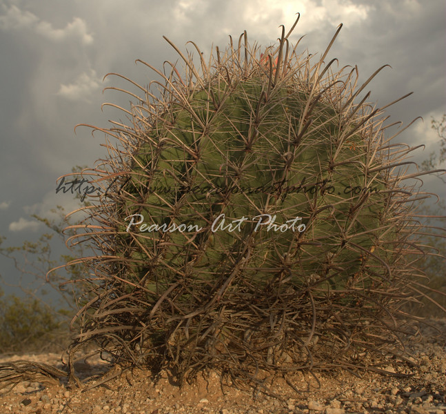 Barrel cactus with stormy clouds taken from a low perspective
