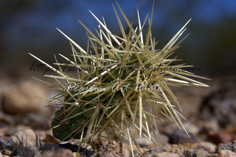 Spiky part of a Jumping Cholla Cactus