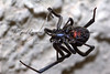 Black widow spider in front of a stucco house