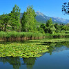 Water lillies and pads on a lake in the Swiss mountains. In the background the Bernese Alps;