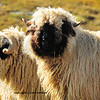 the swiss breed of black nosed sheep, and are mainly found in the Valais region. These sheep also feature curly horns which grow laterally from their heads. These particular sheep were photographed in the mountains above Zermatt