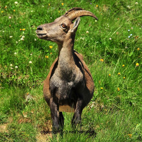 Female european mountain ibex looking very curious