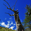 Dead mountain larch with a few remaining branches has an angry look to it.
