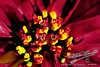 by Jack Foster Mancilla - LensLord™<br /> Poinsettia