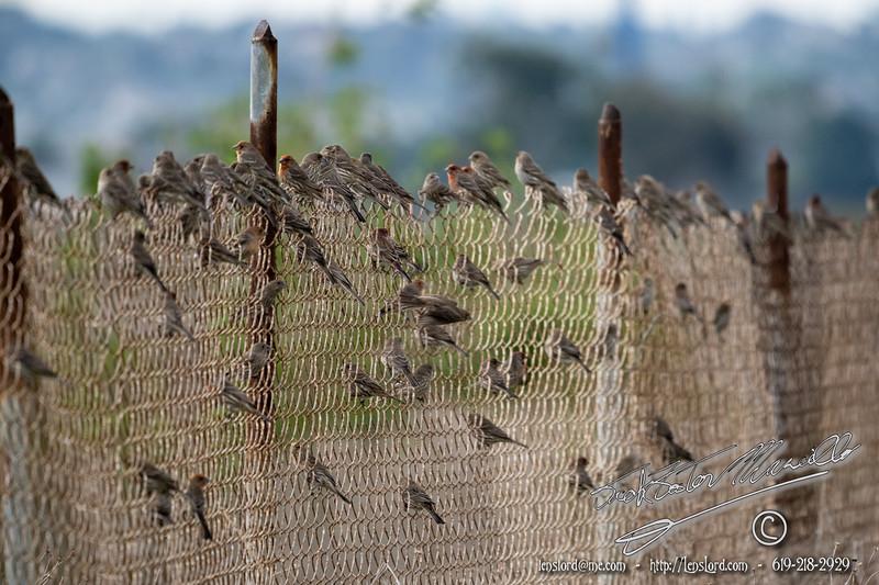 Birds on a Fence II