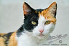 Missy the Calico Cat