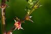Tumbleweed Flower