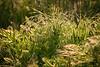 Fiesta Island Grasses