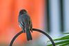 Backyard Flycatcher