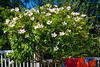 Backyard Hibiscus