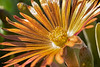 Ice Plant in the Sun