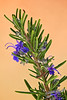 Rosemary <br /> by Jack Foster Mancilla - LensLord™