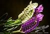 Purple Ribbon Lavandula stoechas<br /> by Jack Foster Mancilla - LensLord™<br /> PurpleRibbon