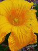 by Jack Foster Mancilla - LensLord™<br /> Male Pumpkin Flower