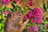 Santa Monica Squirrel with Pink Flowers Reflected in His Eye