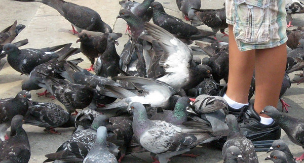 Pigeons flock around a toddler.