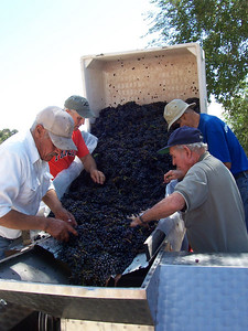 Sorting grapes: Here three volunteers and Armando (in white shirt) remove leaves and large stems from the grapes. Leaving them in could make the wine taste bitter.