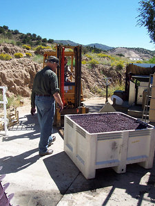 Dropping off a batch of red grapes to be finally pressed into wine.