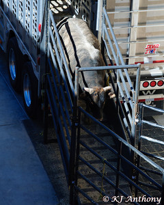Bringing in the bulls for the 2012 PBR World Finals at the Thomas and Mack Center in Las Vegas, NV.