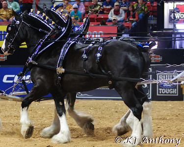 The Express Clydesdales heavy horse hitch rolled into the Thomas in Mack for the 2012 PBR World Finals.  These majestic horses are rarity in a breed that only numbers five thousand, due to their rare black and white color.  Behold the beauty and raw power of these gentle giants.