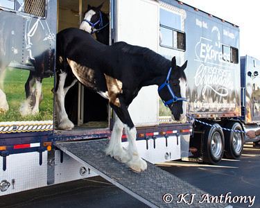 Express Ranches brought their award winning six heavy horse hitch from Yukon, Oklahoma to Las Vegas for the 2013 PBR World Finals.